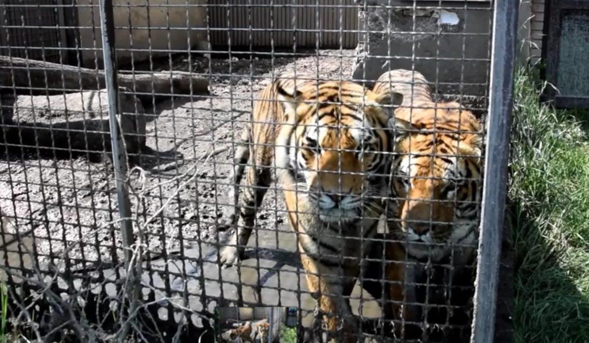 Hodowla zwierząt w Pyszącej: tygrysy stojący we własnych odchodach na wybiegu mniejszym niż 50 m (fot.:Zoo Poznań Official Site)