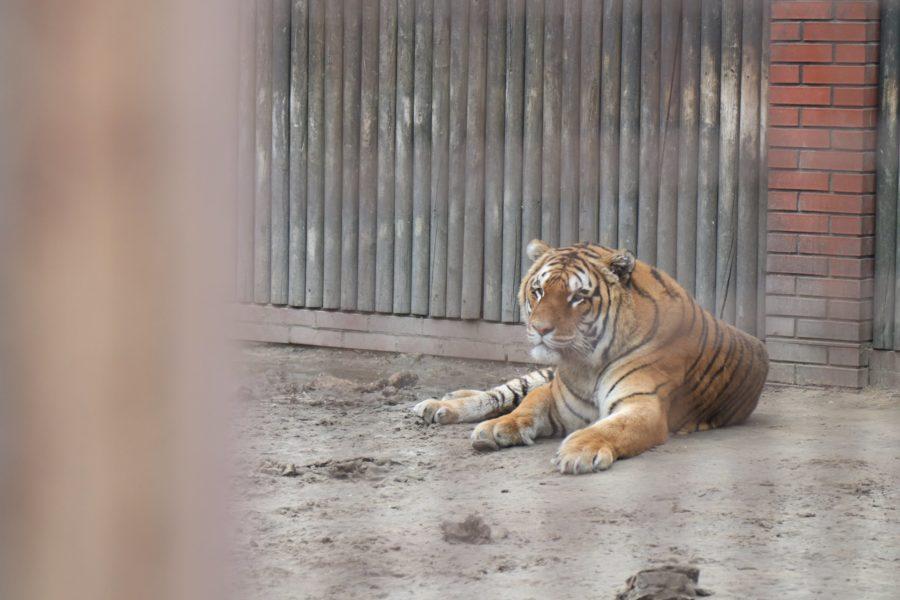 Tygrys pozostały na terenie hodowli zwierząt w Pyszącej (fot. srem.pl)