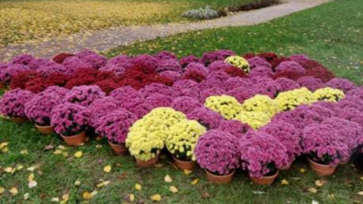 Kwiaty przeznaczone na cmentarz ozdobią Śrem - Gmina wsparła hodowców